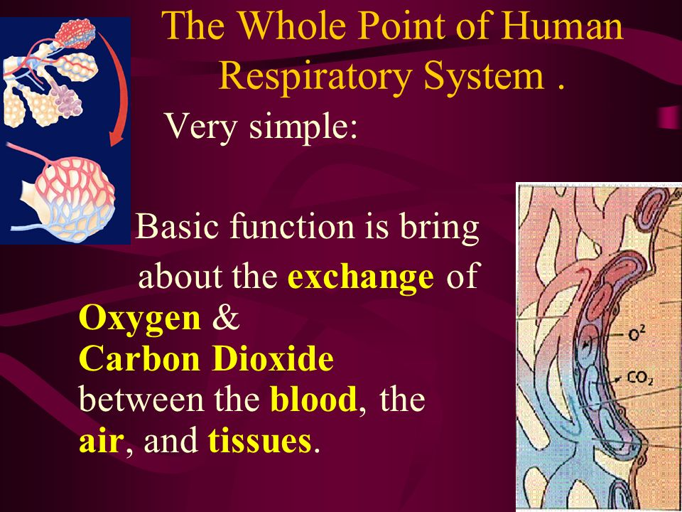 The Whole Point of Human Respiratory System. Very simple: Basic function is bring about the exchange of Oxygen & Carbon Dioxide between the blood, the