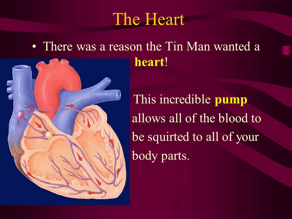 The Heart There was a reason the Tin Man wanted a heart! This incredible pump allows all of the blood to be squirted to all of your body parts.