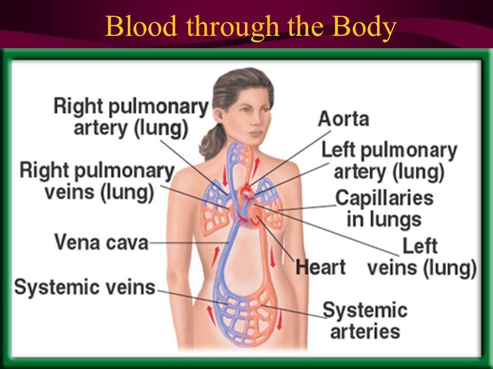 Blood through the Body