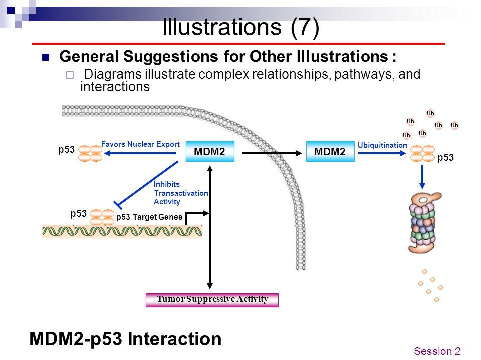 MDM2-p53 Interaction MDM2 Tumor Suppressive Activity p53 Ub p53 p53 Target Genes MDM2 p53 Ub Inhibits Transactivation Activity Favors Nuclear Export U
