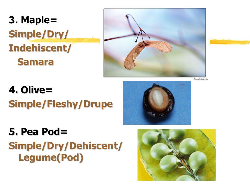 3. Maple=Simple/Dry/Indehiscent/ Samara Samara 4. Olive= Simple/Fleshy/Drupe 5. Pea Pod= Simple/Dry/Dehiscent/ Legume(Pod)