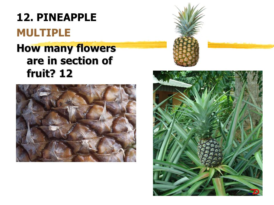 12. PINEAPPLE MULTIPLE How many flowers are in section of fruit? 12