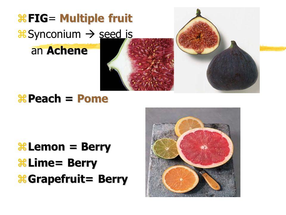 zFIGMultiple fruit zFIG= Multiple fruit zSynconium seed is Achene an Achene zPeach = Pome zLemon = Berry zLime= Berry zGrapefruit= Berry