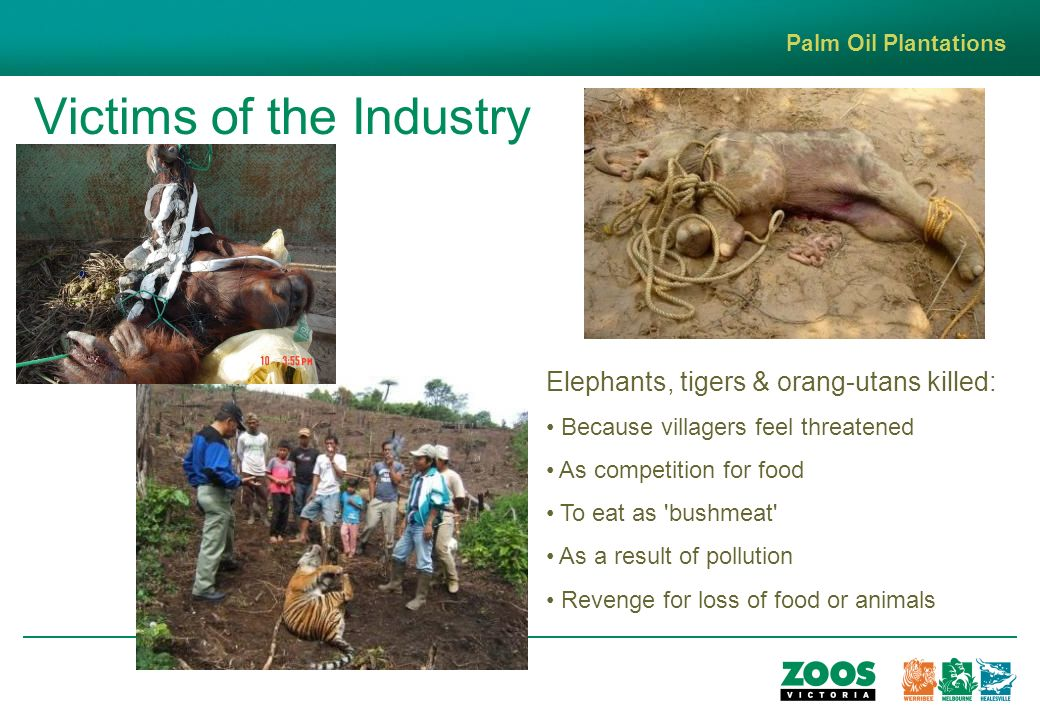 Victims of the Industry Palm Oil Plantations Elephants, tigers & orang-utans killed: Because villagers feel threatened As competition for food To eat as bushmeat As a result of pollution Revenge for loss of food or animals