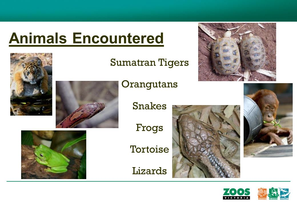 Animals Encountered Sumatran Tigers Orangutans Snakes Frogs Tortoise Lizards