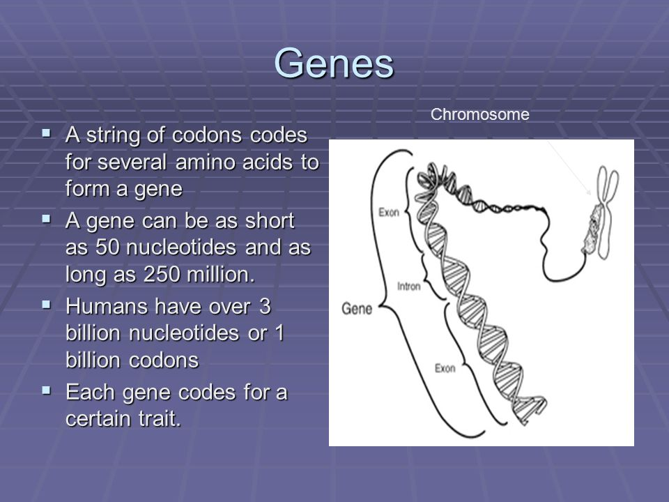 Genes A string of codons codes for several amino acids to form a gene A string of codons codes for several amino acids to form a gene A gene can be as