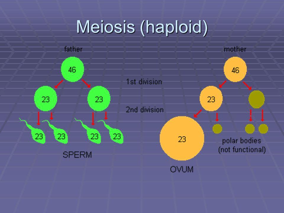 Meiosis (haploid)