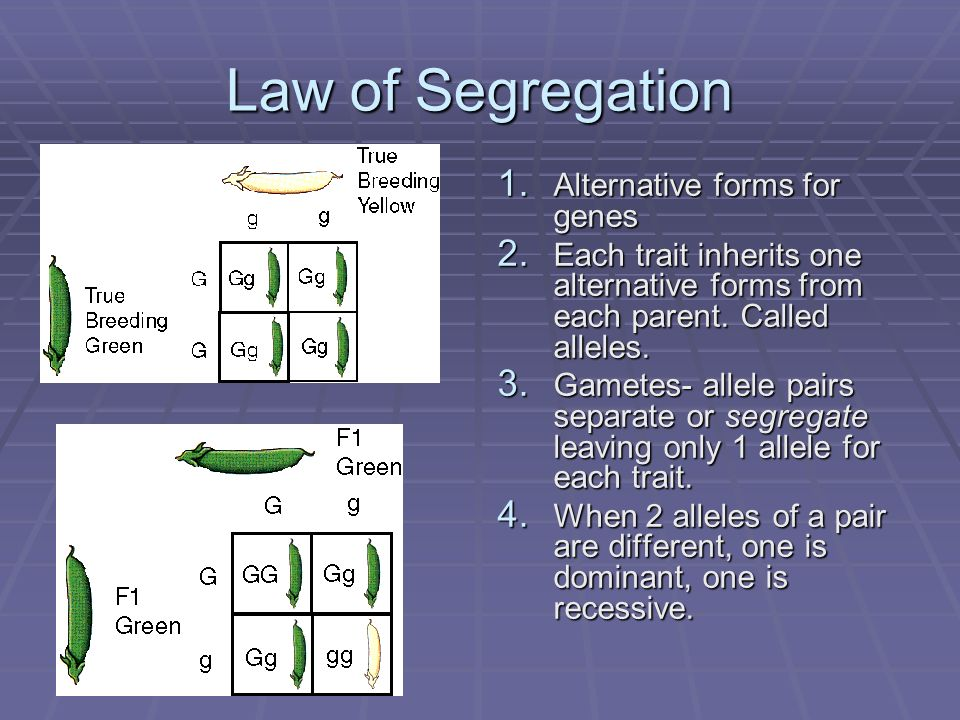 Law of Segregation 1. Alternative forms for genes 2. Each trait inherits one alternative forms from each parent. Called alleles. 3. Gametes- allele pa