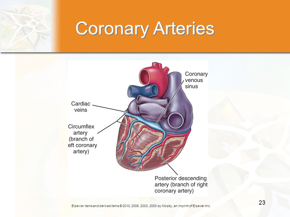 Elsevier items and derived items © 2010, 2006, 2003, 2000 by Mosby, an imprint of Elsevier Inc. 23 Coronary Arteries