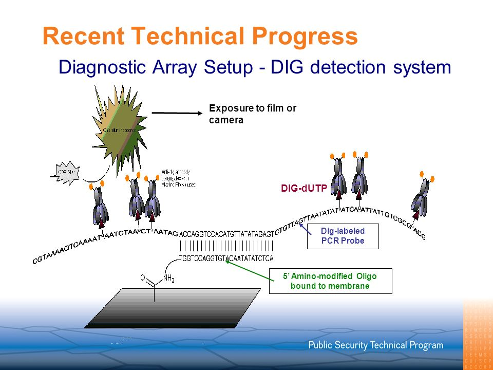 Recent Technical Progress DIG-dUTP Exposure to film or camera Dig-labeled PCR Probe 5 Amino-modified Oligo bound to membrane Diagnostic Array Setup - DIG detection system