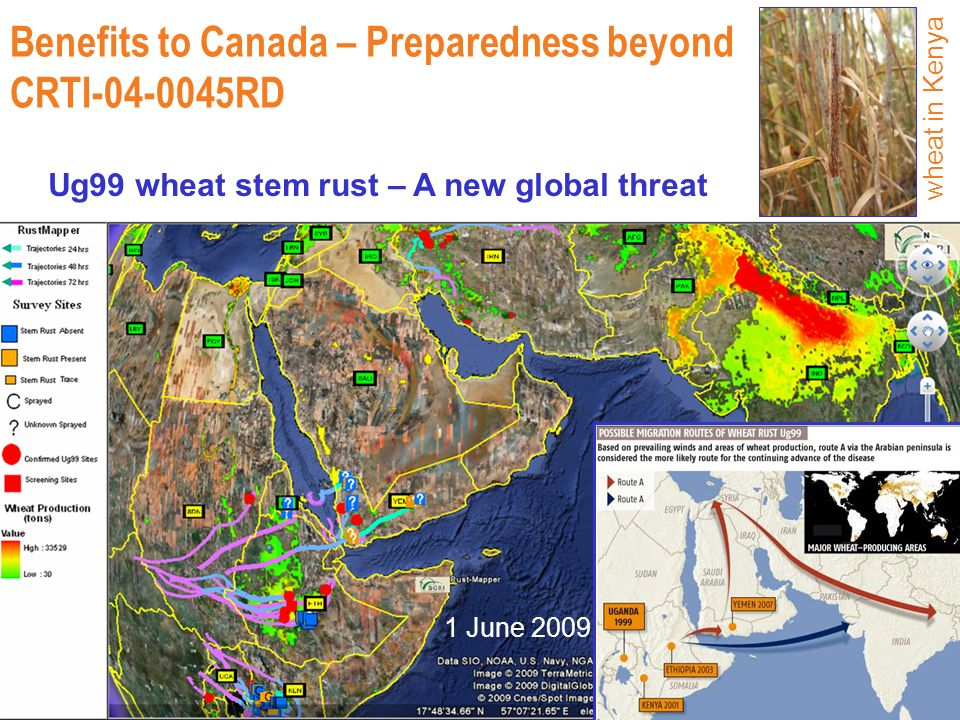 1 June 2009 Benefits to Canada – Preparedness beyond CRTI-04-0045RD Ug99 wheat stem rust – A new global threat wheat in Kenya