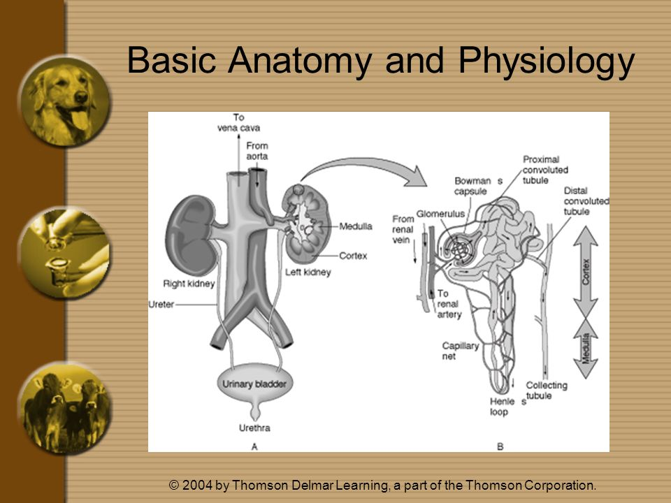 © 2004 by Thomson Delmar Learning, a part of the Thomson Corporation. Basic Anatomy and Physiology