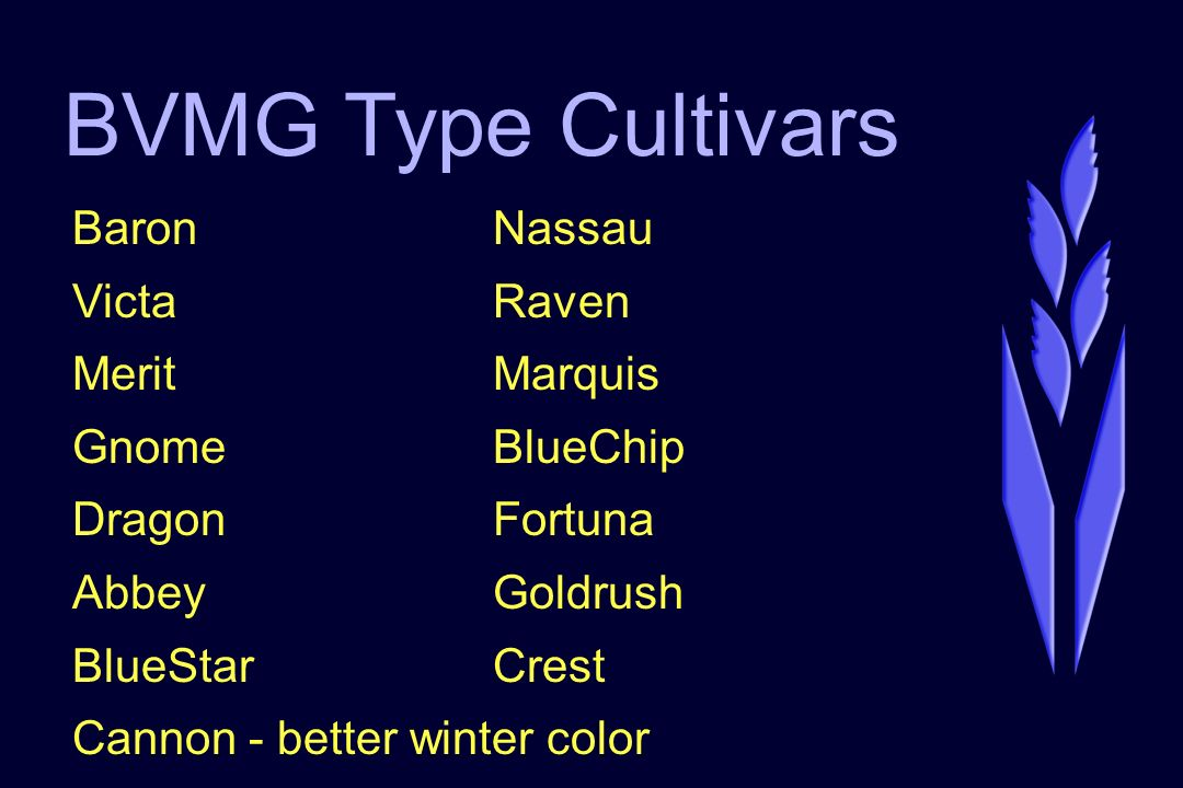 BVMG Type Cultivars BaronNassau VictaRaven MeritMarquis GnomeBlueChip DragonFortuna AbbeyGoldrush BlueStarCrest Cannon - better winter color