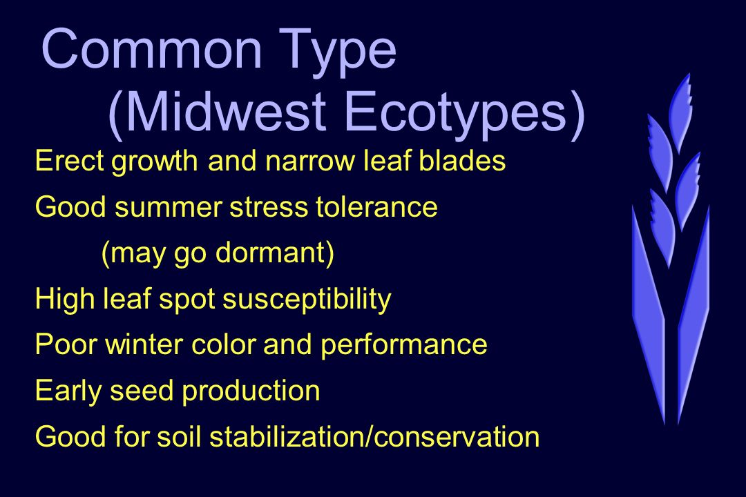 Common Type (Midwest Ecotypes) Erect growth and narrow leaf blades Good summer stress tolerance (may go dormant) High leaf spot susceptibility Poor winter color and performance Early seed production Good for soil stabilization/conservation