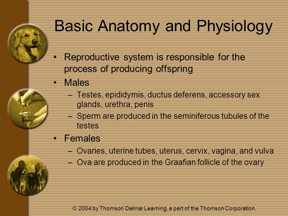 © 2004 by Thomson Delmar Learning, a part of the Thomson Corporation. Basic Anatomy and Physiology Reproductive system is responsible for the process