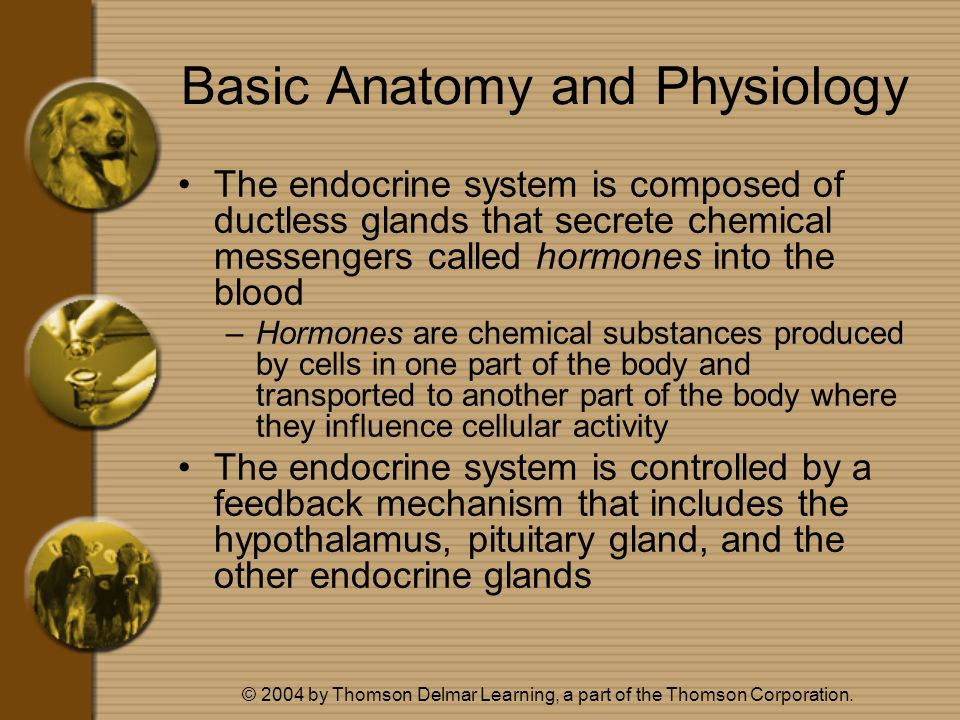 © 2004 by Thomson Delmar Learning, a part of the Thomson Corporation. Basic Anatomy and Physiology The endocrine system is composed of ductless glands