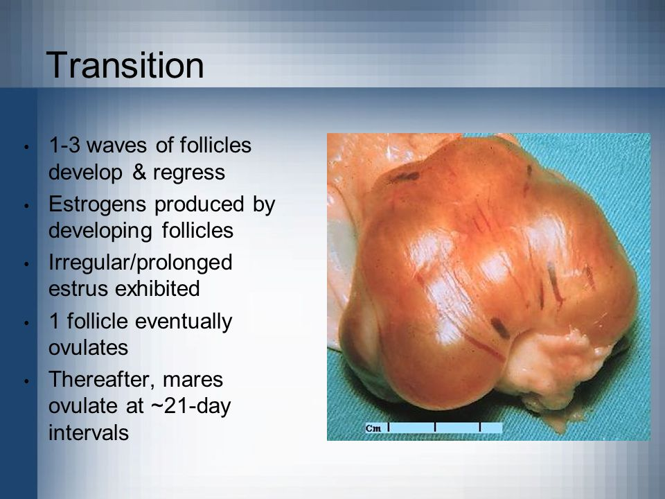 Transition 1-3 waves of follicles develop & regress Estrogens produced by developing follicles Irregular/prolonged estrus exhibited 1 follicle eventua