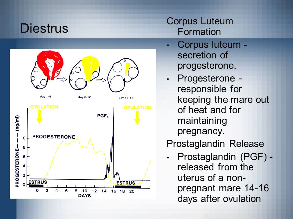 Diestrus Corpus Luteum Formation Corpus luteum - secretion of progesterone. Progesterone - responsible for keeping the mare out of heat and for mainta