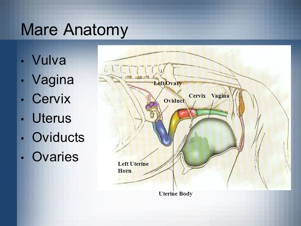 Mare Anatomy Vulva Vagina Cervix Uterus Oviducts Ovaries Left Ovary Oviduct Left Uterine Horn Uterine Body CervixVagina