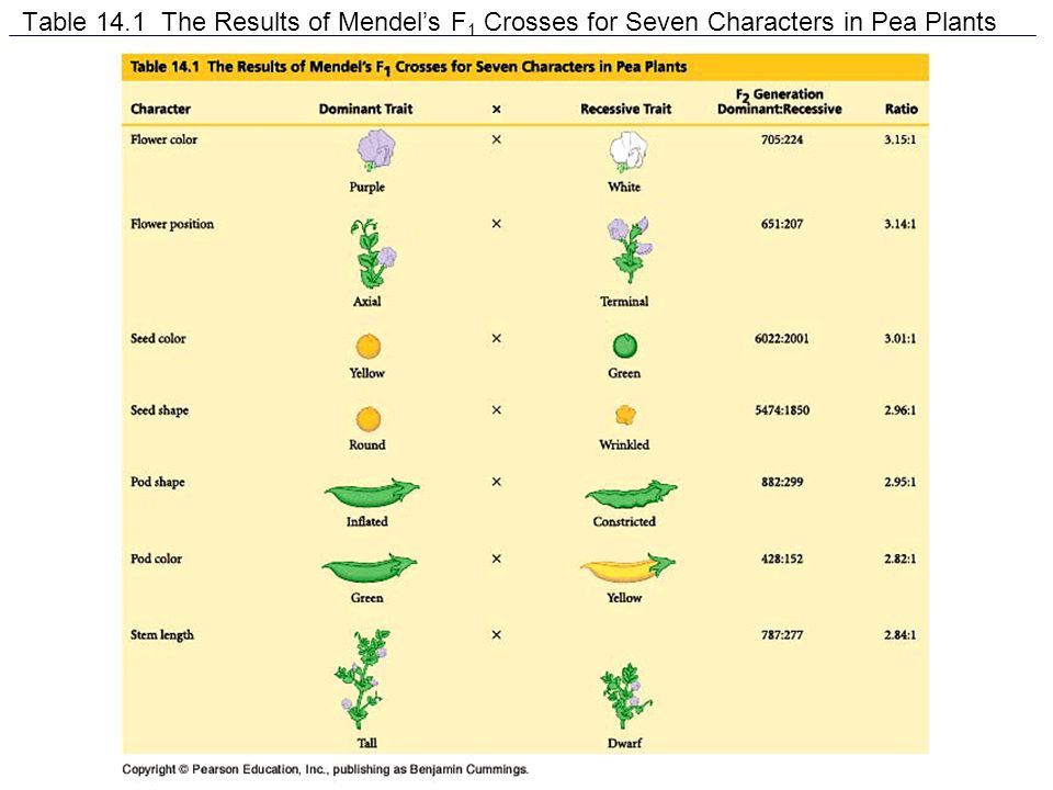 Table 14.1 The Results of Mendels F 1 Crosses for Seven Characters in Pea Plants
