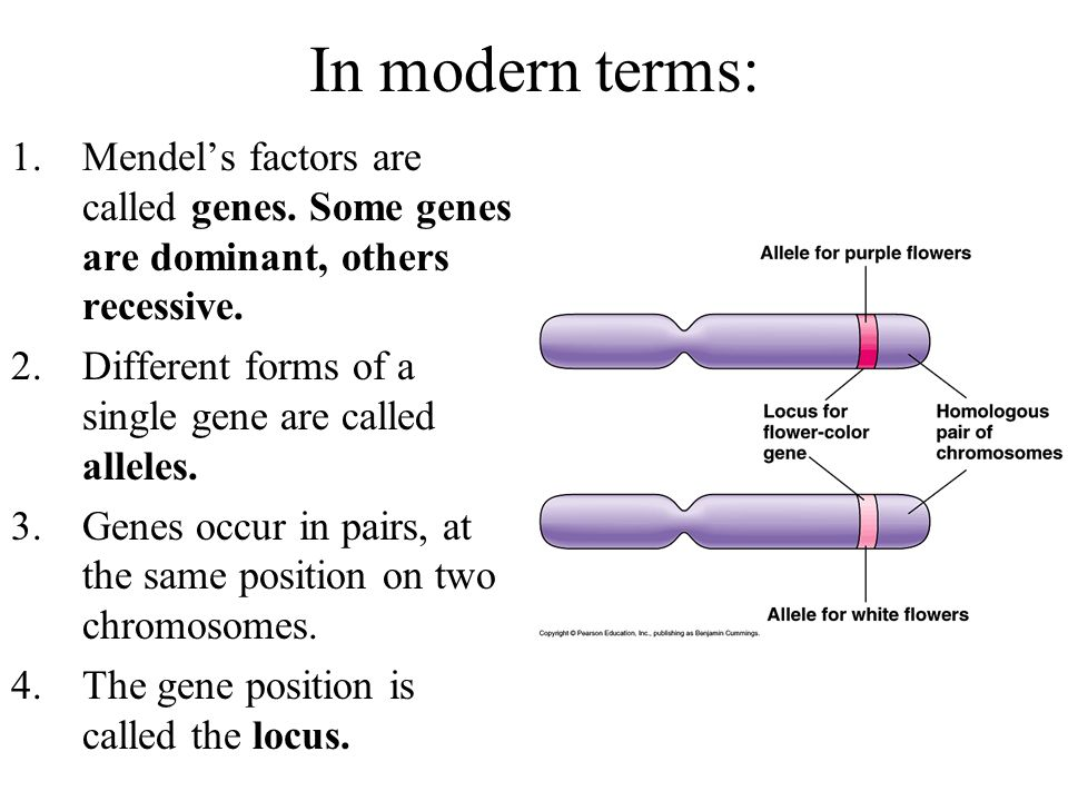 In modern terms: 1.Mendels factors are called genes. Some genes are dominant, others recessive. 2.Different forms of a single gene are called alleles.