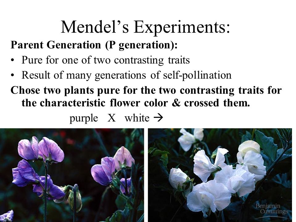 Mendels Experiments: Parent Generation (P generation): Pure for one of two contrasting traits Result of many generations of self-pollination Chose two