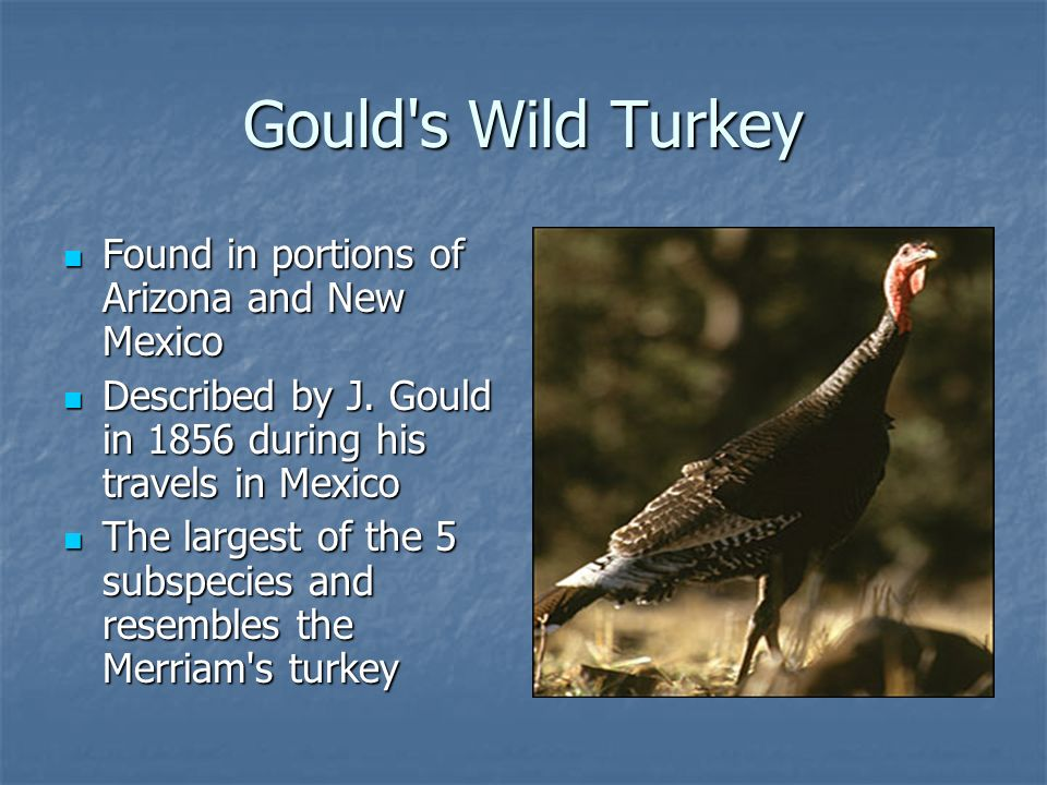 Gould s Wild Turkey Found in portions of Arizona and New Mexico Found in portions of Arizona and New Mexico Described by J.