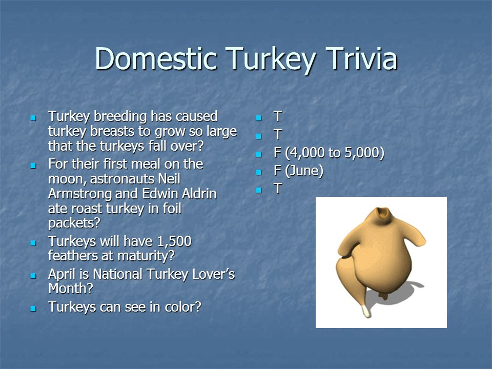 Domestic Turkey Trivia Turkey breeding has caused turkey breasts to grow so large that the turkeys fall over.