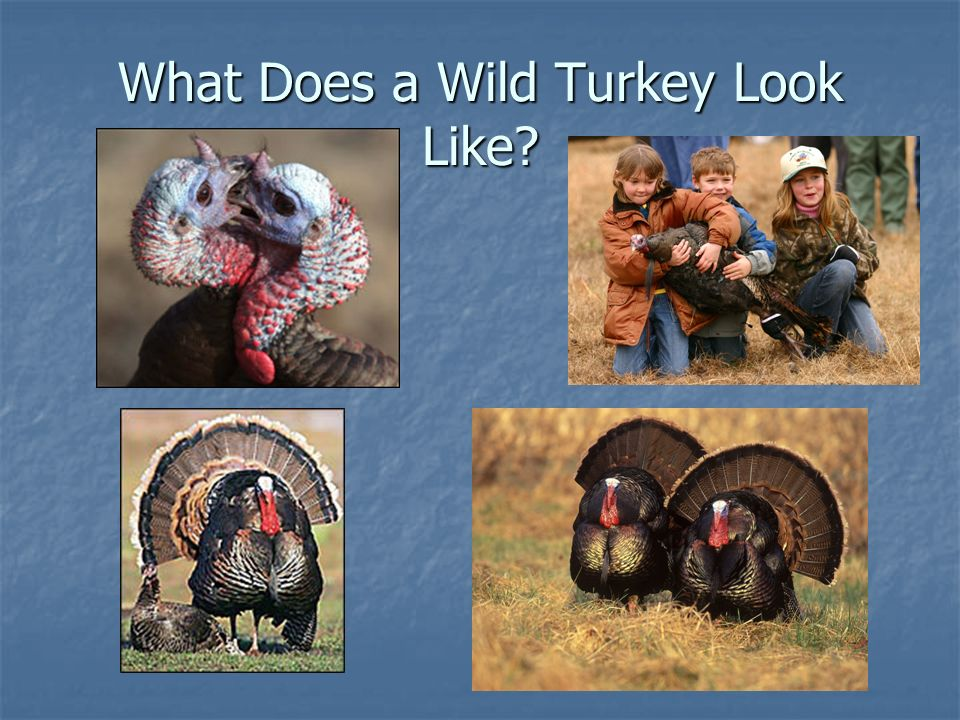 What Does a Wild Turkey Look Like