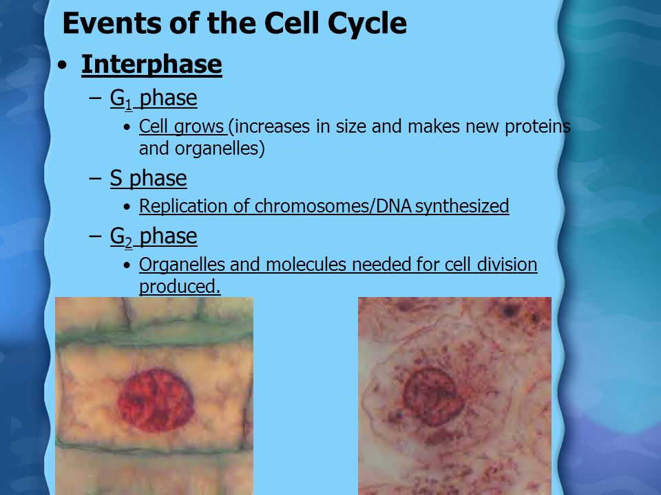 Events of the Cell Cycle Interphase –G 1 phase Cell grows (increases in size and makes new proteins and organelles) –S phase Replication of chromosome