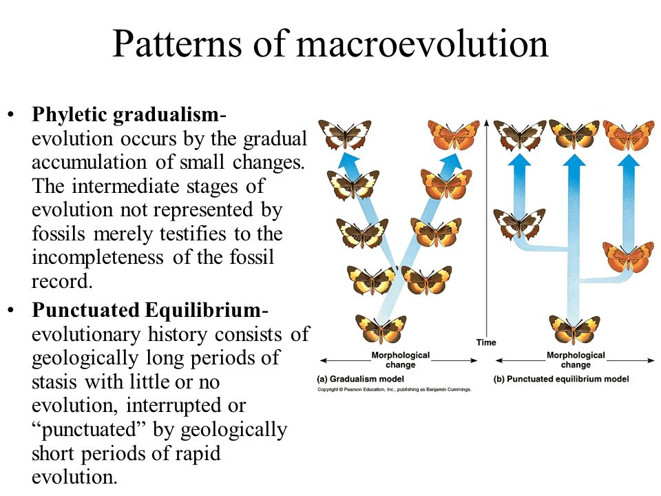 Patterns of macroevolution Phyletic gradualism- evolution occurs by the gradual accumulation of small changes. The intermediate stages of evolution no
