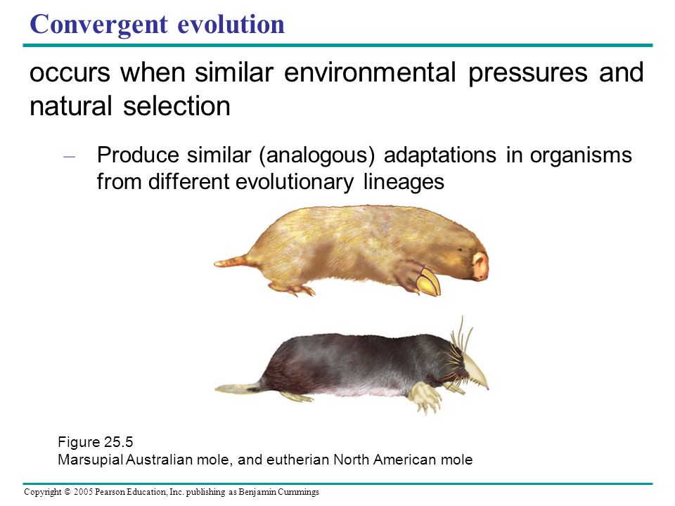 Copyright © 2005 Pearson Education, Inc. publishing as Benjamin Cummings Convergent evolution occurs when similar environmental pressures and natural