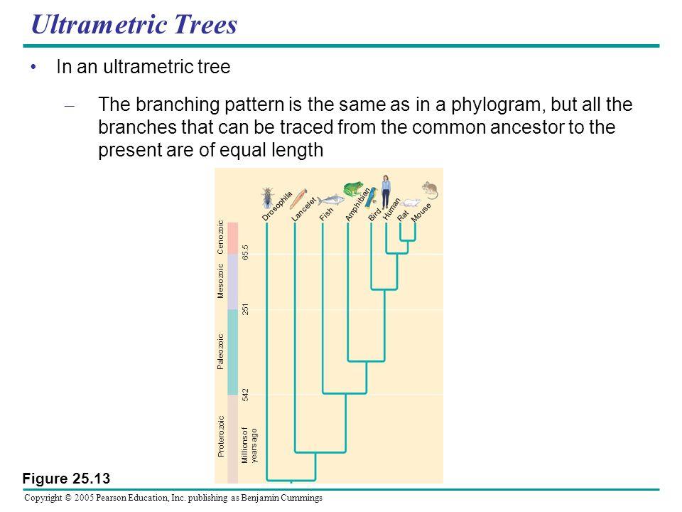 Copyright © 2005 Pearson Education, Inc. publishing as Benjamin Cummings Ultrametric Trees In an ultrametric tree – The branching pattern is the same