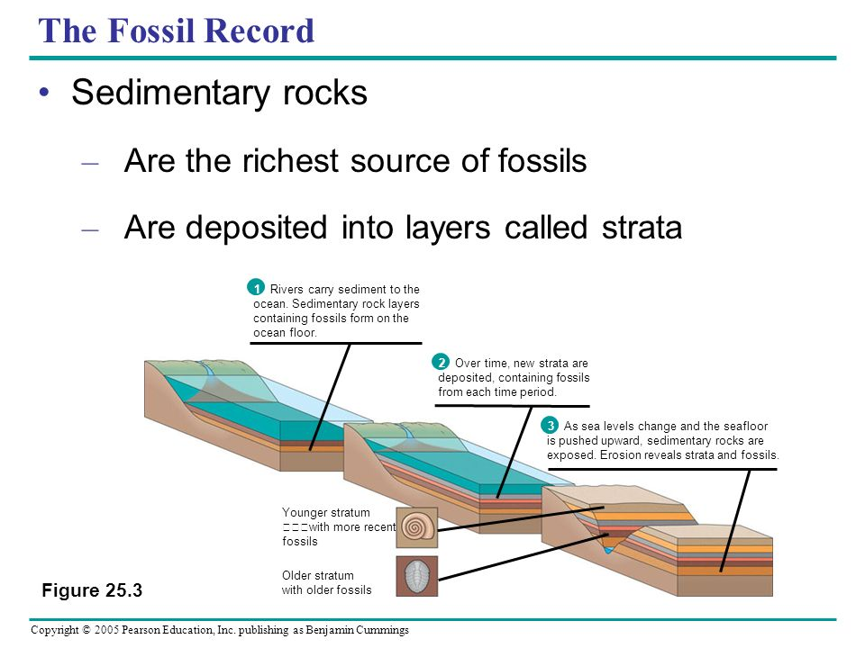 Copyright © 2005 Pearson Education, Inc. publishing as Benjamin Cummings The Fossil Record Sedimentary rocks – Are the richest source of fossils – Are