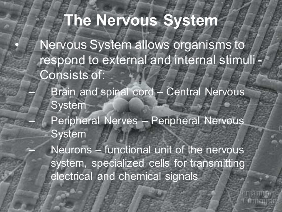 The Nervous System Nervous System allows organisms to respond to external and internal stimuli - Consists of: –Brain and spinal cord – Central Nervous