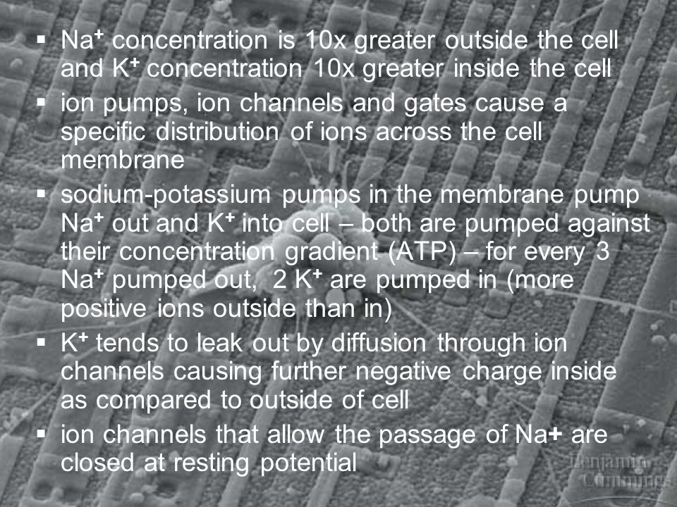 Na + concentration is 10x greater outside the cell and K + concentration 10x greater inside the cell ion pumps, ion channels and gates cause a specifi