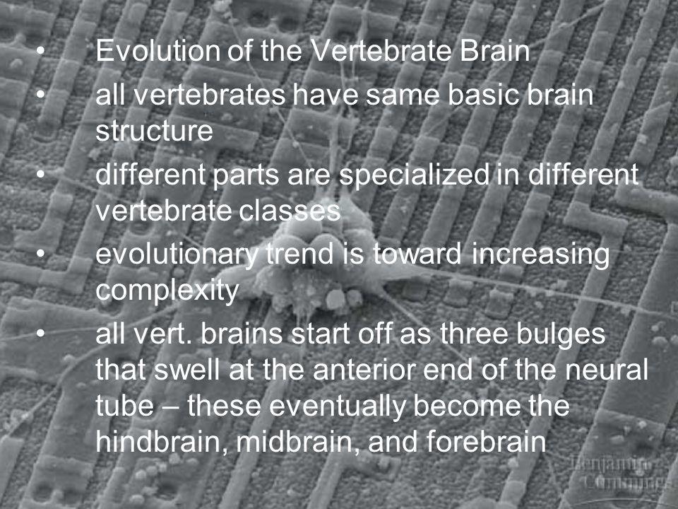 Evolution of the Vertebrate Brain all vertebrates have same basic brain structure different parts are specialized in different vertebrate classes evol