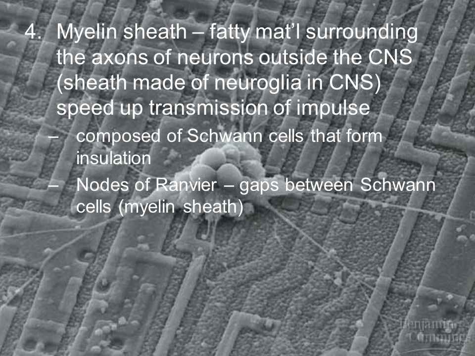 4.Myelin sheath – fatty matl surrounding the axons of neurons outside the CNS (sheath made of neuroglia in CNS) speed up transmission of impulse –comp