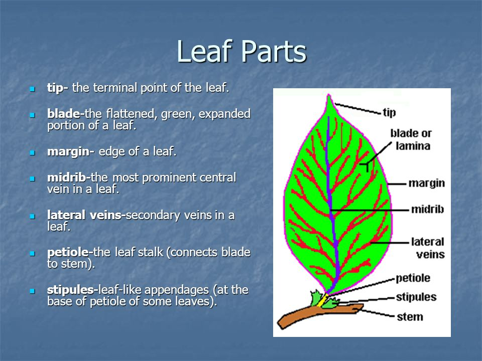 Leaf Parts tip- the terminal point of the leaf. tip- the terminal point of the leaf. blade-the flattened, green, expanded portion of a leaf. blade-the