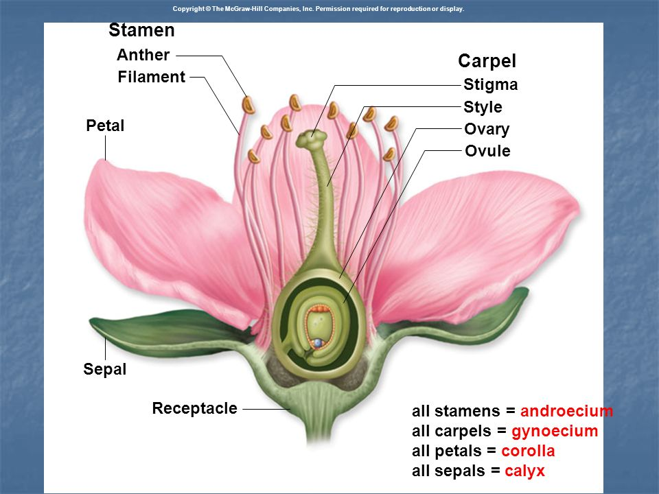 Stamen Anther Filament Carpel Stigma Style Ovary Ovule Petal Receptacle Sepal all stamens = androecium all carpels = gynoecium all petals = corolla al