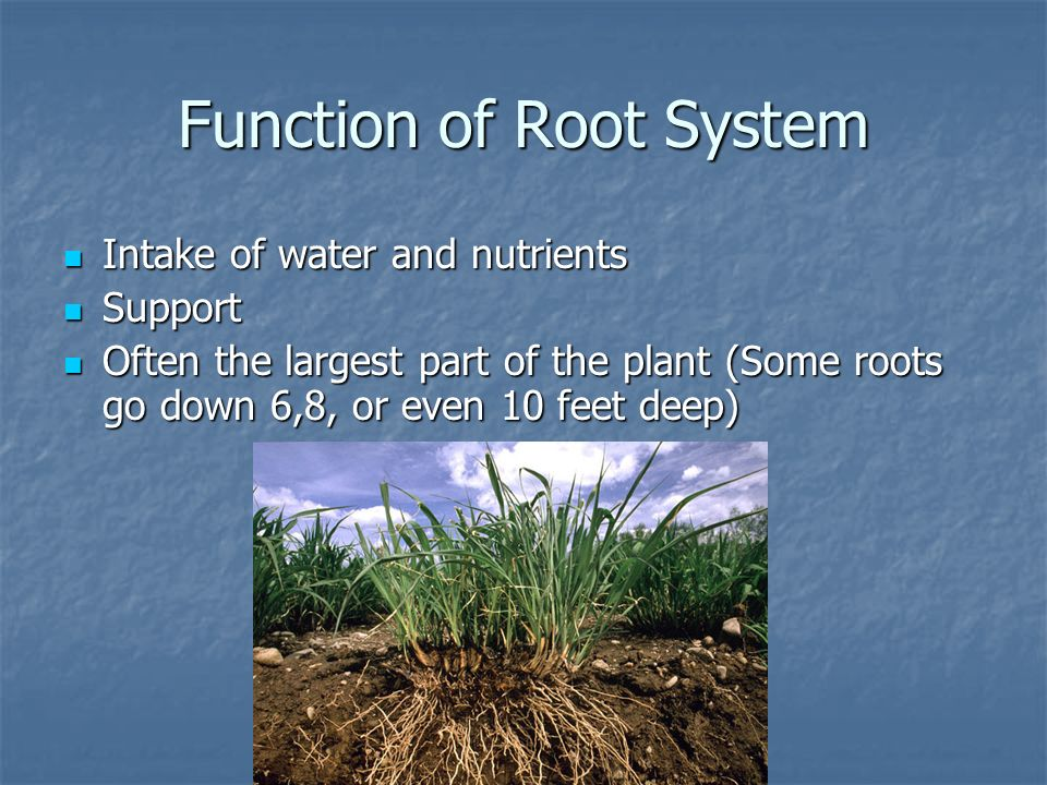 Function of Root System Intake of water and nutrients Intake of water and nutrients Support Support Often the largest part of the plant (Some roots go
