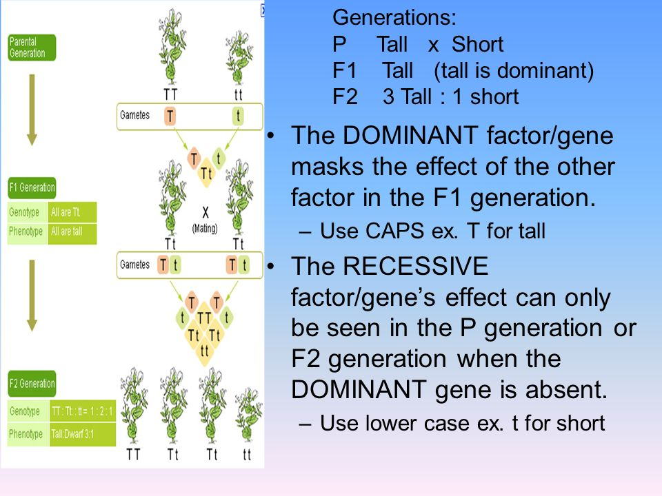 The DOMINANT factor/gene masks the effect of the other factor in the F1 generation. –Use CAPS ex. T for tall The RECESSIVE factor/genes effect can onl