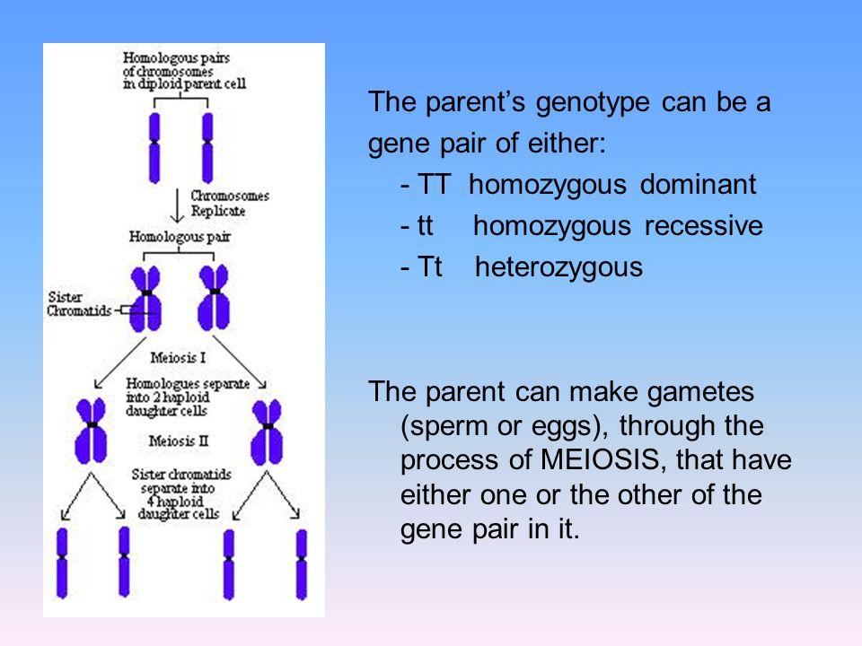 The parents genotype can be a gene pair of either: - TT homozygous dominant - tt homozygous recessive - Tt heterozygous The parent can make gametes (s