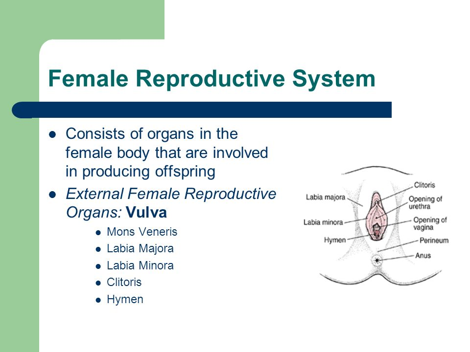 Female Reproductive System Consists of organs in the female body that are involved in producing offspring External Female Reproductive Organs: Vulva M