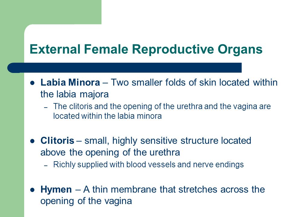 External Female Reproductive Organs Labia Minora – Two smaller folds of skin located within the labia majora – The clitoris and the opening of the ure