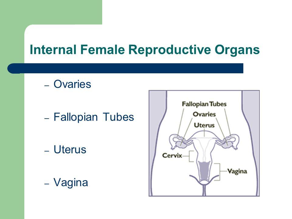 Internal Female Reproductive Organs – Ovaries – Fallopian Tubes – Uterus – Vagina