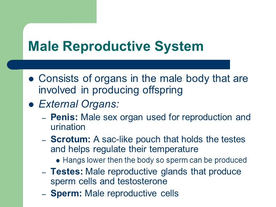 Male Reproduction System Internal Male Reproductive Organs: – Testes – Seminiferous Tubules – Epididymis – Vas Deferens – Seminal Vesicles – Ejaculatory Duct – Prostate Gland – Cowpers Glands – Urethra
