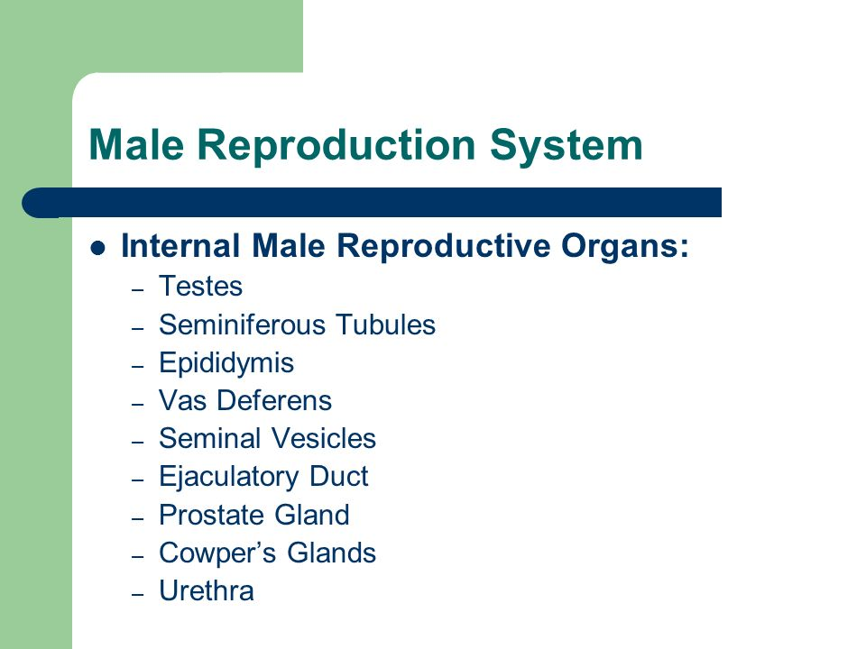 Male Reproduction System Internal Male Reproductive Organs: – Testes – Seminiferous Tubules – Epididymis – Vas Deferens – Seminal Vesicles – Ejaculato