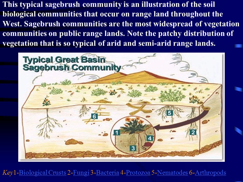 This typical sagebrush community is an illustration of the soil biological communities that occur on range land throughout the West. Sagebrush communi