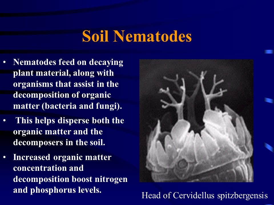 Soil Nematodes Nematodes feed on decaying plant material, along with organisms that assist in the decomposition of organic matter (bacteria and fungi)
